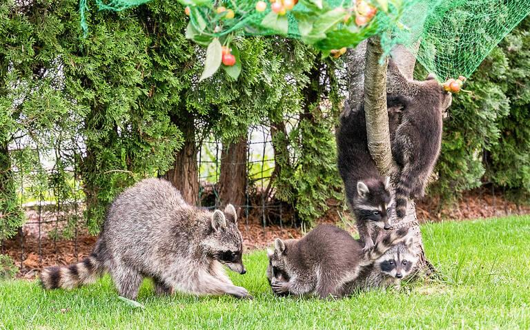 Familie Waschbär nascht Kirschen.