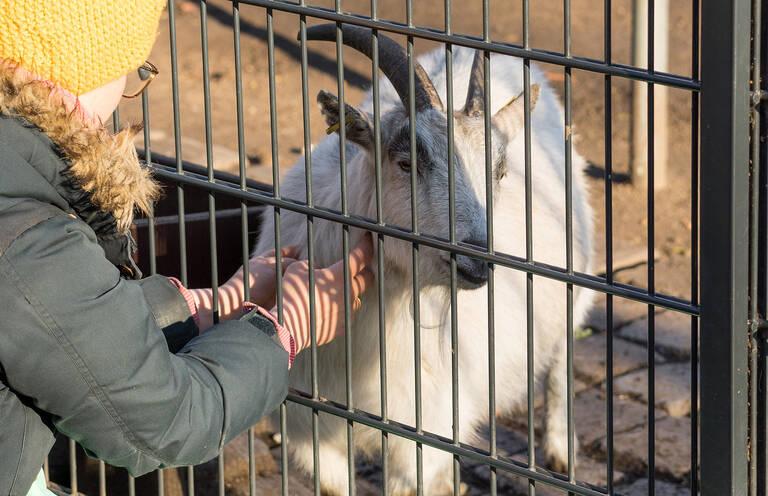 Bitte mehr davon! Diese Ziege liebt es, gekrault zu werden.