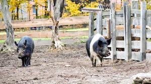 In Düppel geboren: die Weideschweine Greta und Molly. Foto: Melanie Huber / Stadtmuseum Berlin