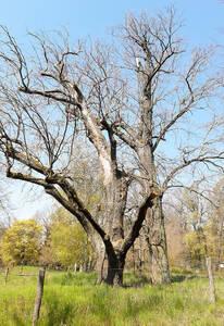 Die alten Bäume haben die Trockenheit der letzten Sommer nicht überlebt. Foto: Grünflächenamt ST-Z
