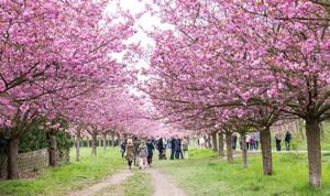 1.100 japanische Kirschbäume begeistern durch ihre Blütenpracht.
