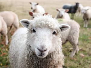 Schafe – die wichtigsten Wolllieferanten. Foto: Sam Carter