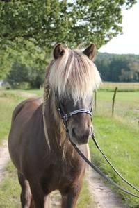 Dieses Islandpferd lebt zwar woanders, aber die Ponys von den flotten Hufen freuen sich auf ihren Besuch. Foto: Josephine Herms