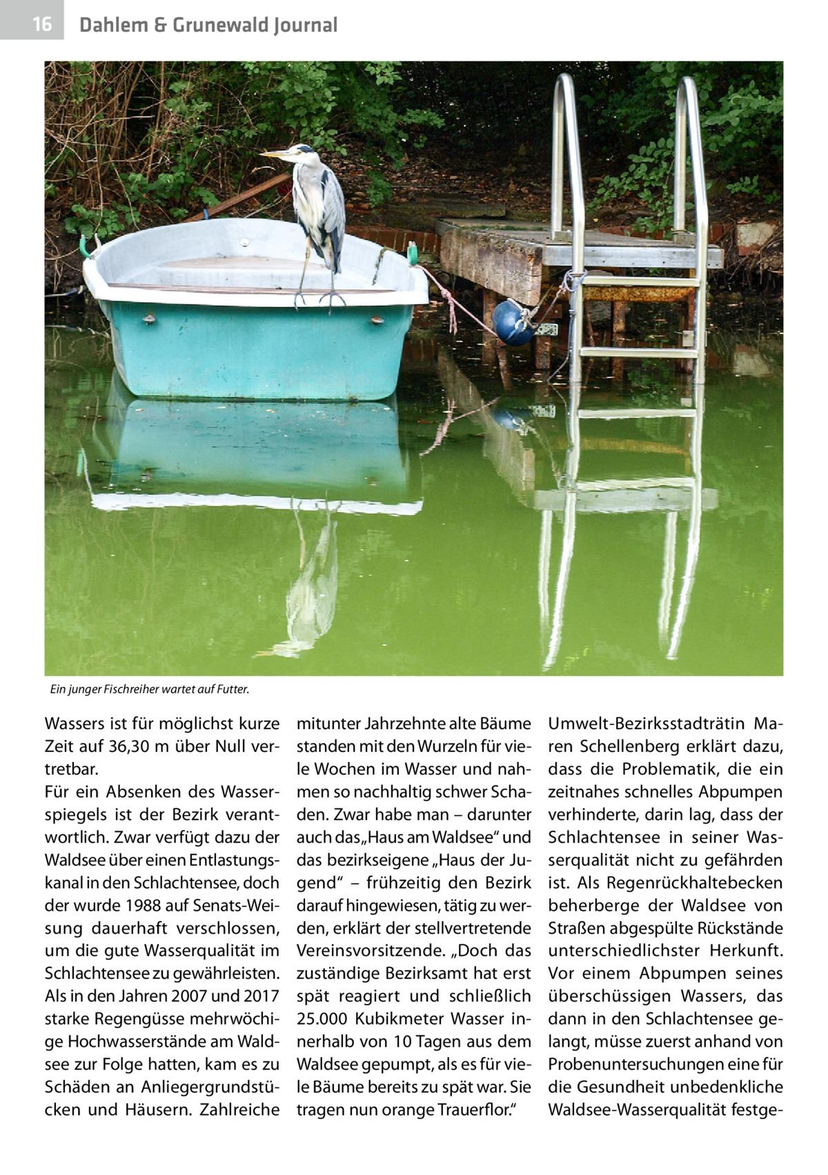 """16  Dahlem & Grunewald Journal  Ein junger Fischreiher wartet auf Futter.  Wassers ist für möglichst kurze Zeit auf 36,30m über Null vertretbar. Für ein Absenken des Wasserspiegels ist der Bezirk verantwortlich. Zwar verfügt dazu der Waldsee über einen Entlastungskanal in den Schlachtensee, doch der wurde 1988 auf Senats-Weisung dauerhaft verschlossen, um die gute Wasserqualität im Schlachtensee zu gewährleisten. Als in den Jahren 2007 und 2017 starke Regengüsse mehrwöchige Hochwasserstände am Waldsee zur Folge hatten, kam es zu Schäden an Anliegergrundstücken und Häusern. Zahlreiche  mitunter Jahrzehnte alte Bäume standen mit den Wurzeln für viele Wochen im Wasser und nahmen so nachhaltig schwer Schaden. Zwar habe man – darunter auch das """"Haus am Waldsee"""" und das bezirkseigene """"Haus der Jugend"""" – frühzeitig den Bezirk darauf hingewiesen, tätig zu werden, erklärt der stellvertretende Vereinsvorsitzende. """"Doch das zuständige Bezirksamt hat erst spät reagiert und schließlich 25.000 Kubikmeter Wasser innerhalb von 10 Tagen aus dem Waldsee gepumpt, als es für viele Bäume bereits zu spät war. Sie tragen nun orange Trauerflor.""""  Umwelt-Bezirksstadträtin Maren Schellenberg erklärt dazu, dass die Problematik, die ein zeitnahes schnelles Abpumpen verhinderte, darin lag, dass der Schlachtensee in seiner Wasserqualität nicht zu gefährden ist. Als Regenrückhaltebecken beherberge der Waldsee von Straßen abgespülte Rückstände unterschiedlichster Herkunft. Vor einem Abpumpen seines überschüssigen Wassers, das dann in den Schlachtensee gelangt, müsse zuerst anhand von Probenuntersuchungen eine für die Gesundheit unbedenkliche Waldsee-Wasserqualität festg"""