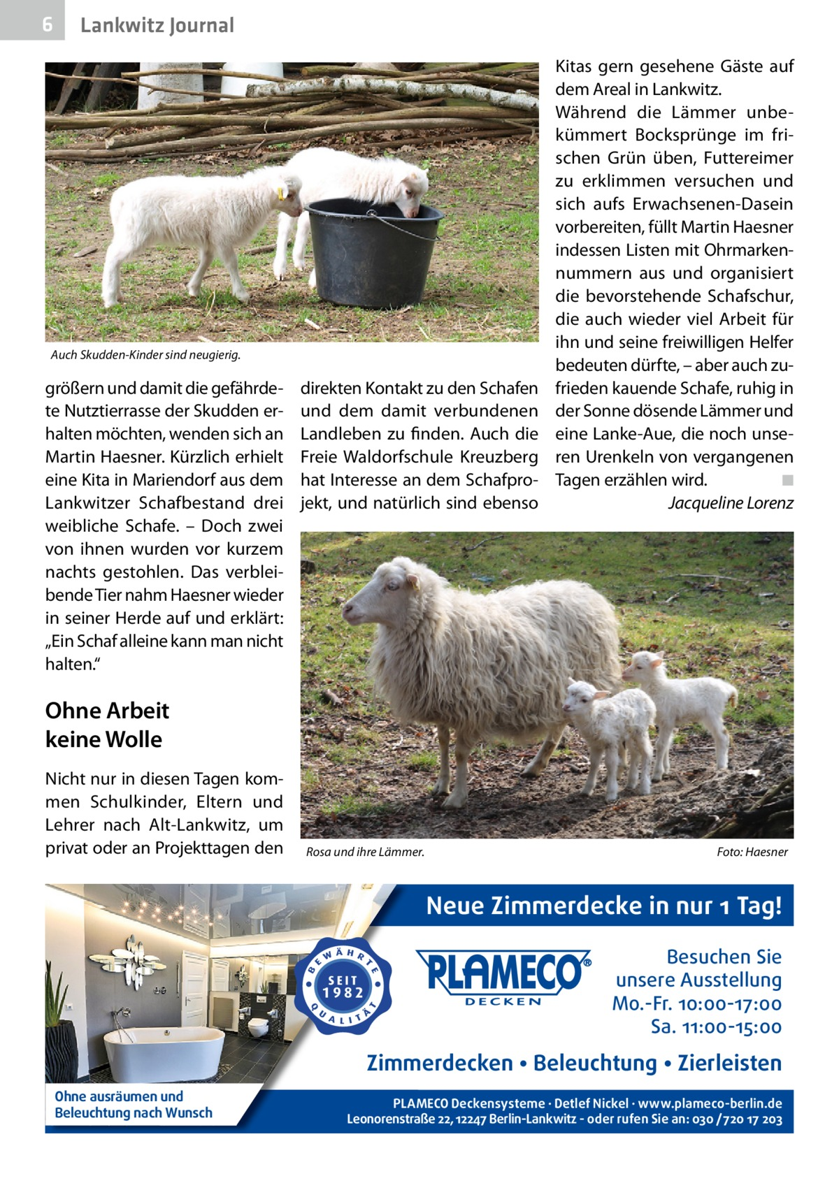 """6  Lankwitz Journal  Auch Skudden-Kinder sind neugierig.  größern und damit die gefährdete Nutztierrasse der Skudden erhalten möchten, wenden sich an Martin Haesner. Kürzlich erhielt eine Kita in Mariendorf aus dem Lankwitzer Schafbestand drei weibliche Schafe. – Doch zwei von ihnen wurden vor kurzem nachts gestohlen. Das verbleibende Tier nahm Haesner wieder in seiner Herde auf und erklärt: """"Ein Schaf alleine kann man nicht halten.""""  direkten Kontakt zu den Schafen und dem damit verbundenen Landleben zu finden. Auch die Freie Waldorfschule Kreuzberg hat Interesse an dem Schafprojekt, und natürlich sind ebenso  Kitas gern gesehene Gäste auf dem Areal in Lankwitz. Während die Lämmer unbekümmert Bocksprünge im frischen Grün üben, Futtereimer zu erklimmen versuchen und sich aufs Erwachsenen-Dasein vorbereiten, füllt Martin Haesner indessen Listen mit Ohrmarkennummern aus und organisiert die bevorstehende Schafschur, die auch wieder viel Arbeit für ihn und seine freiwilligen Helfer bedeuten dürfte, – aber auch zufrieden kauende Schafe, ruhig in der Sonne dösende Lämmer und eine Lanke-Aue, die noch unseren Urenkeln von vergangenen Tagen erzählen wird.� ◾ � Jacqueline Lorenz  Ohne Arbeit keine Wolle Nicht nur in diesen Tagen kommen Schulkinder, Eltern und Lehrer nach Alt-Lankwitz, um privat oder an Projekttagen den  Rosa und ihre Lämmer.�  Foto: Haesner  Neue Zimmerdecke in nur 1 Tag! Besuchen Sie unsere Ausstellung Mo.-Fr. 10:00-17:00 Sa. 11:00-15:00  Zimmerdecken • Beleuchtung • Zierleisten Ohne ausräumen und Beleuchtung nach Wunsch  PLAMECO Deckensysteme ∙ Detlef Nickel ∙ www.plameco-berlin.de Leonorenstraße 22, 12247 Berlin-Lankwitz - oder rufen Sie an: 030 /720 17 203"""