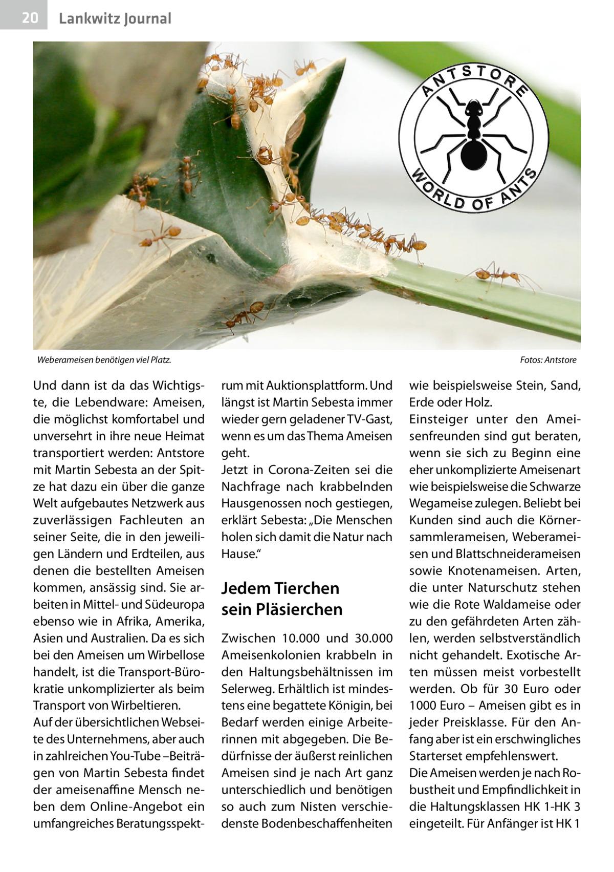 """20  Lankwitz Journal  Weberameisen benötigen viel Platz.�  Und dann ist da das Wichtigste, die Lebendware: Ameisen, die möglichst komfortabel und unversehrt in ihre neue Heimat transportiert werden: Antstore mit Martin Sebesta an der Spitze hat dazu ein über die ganze Welt aufgebautes Netzwerk aus zuverlässigen Fachleuten an seiner Seite, die in den jeweiligen Ländern und Erdteilen, aus denen die bestellten Ameisen kommen, ansässig sind. Sie arbeiten in Mittel- und Südeuropa ebenso wie in Afrika, Amerika, Asien und Australien. Da es sich bei den Ameisen um Wirbellose handelt, ist die Transport-Bürokratie unkomplizierter als beim Transport von Wirbeltieren. Auf der übersichtlichen Webseite des Unternehmens, aber auch in zahlreichen You-Tube –Beiträgen von Martin Sebesta findet der ameisenaffine Mensch neben dem Online-Angebot ein umfangreiches Beratungsspekt Fotos: Antstore  rum mit Auktionsplattform. Und längst ist Martin Sebesta immer wieder gern geladener TV-Gast, wenn es um das Thema Ameisen geht. Jetzt in Corona-Zeiten sei die Nachfrage nach krabbelnden Hausgenossen noch gestiegen, erklärt Sebesta: """"Die Menschen holen sich damit die Natur nach Hause.""""  Jedem Tierchen sein Pläsierchen Zwischen 10.000 und 30.000 Ameisenkolonien krabbeln in den Haltungsbehältnissen im Selerweg. Erhältlich ist mindestens eine begattete Königin, bei Bedarf werden einige Arbeiterinnen mit abgegeben. Die Bedürfnisse der äußerst reinlichen Ameisen sind je nach Art ganz unterschiedlich und benötigen so auch zum Nisten verschiedenste Bodenbeschaffenheiten  wie beispielsweise Stein, Sand, Erde oder Holz. Einsteiger unter den Ameisenfreunden sind gut beraten, wenn sie sich zu Beginn eine eher unkomplizierte Ameisenart wie beispielsweise die Schwarze Wegameise zulegen. Beliebt bei Kunden sind auch die Körnersammlerameisen, Weberameisen und Blattschneiderameisen sowie Knotenameisen. Arten, die unter Naturschutz stehen wie die Rote Waldameise oder zu den gefährdeten Arten zählen, werden selbst"""