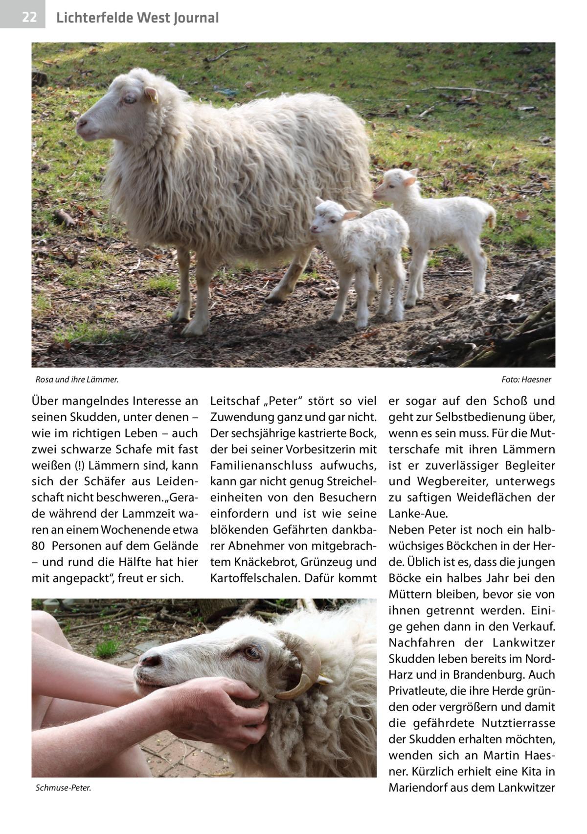 """22  Lichterfelde West Journal  Rosa und ihre Lämmer.�  Über mangelndes Interesse an seinen Skudden, unter denen – wie im richtigen Leben – auch zwei schwarze Schafe mit fast weißen (!) Lämmern sind, kann sich der Schäfer aus Leidenschaft nicht beschweren. """"Gerade während der Lammzeit waren an einem Wochenende etwa 80 Personen auf dem Gelände – und rund die Hälfte hat hier mit angepackt"""", freut er sich.  Schmuse-Peter.  Foto: Haesner  Leitschaf """"Peter"""" stört so viel Zuwendung ganz und gar nicht. Der sechsjährige kastrierte Bock, der bei seiner Vorbesitzerin mit Familienanschluss aufwuchs, kann gar nicht genug Streicheleinheiten von den Besuchern einfordern und ist wie seine blökenden Gefährten dankbarer Abnehmer von mitgebrachtem Knäckebrot, Grünzeug und Kartoffelschalen. Dafür kommt  er sogar auf den Schoß und geht zur Selbstbedienung über, wenn es sein muss. Für die Mutterschafe mit ihren Lämmern ist er zuverlässiger Begleiter und Wegbereiter, unterwegs zu saftigen Weideflächen der Lanke-Aue. Neben Peter ist noch ein halbwüchsiges Böckchen in der Herde. Üblich ist es, dass die jungen Böcke ein halbes Jahr bei den Müttern bleiben, bevor sie von ihnen getrennt werden. Einige gehen dann in den Verkauf. Nachfahren der Lankwitzer Skudden leben bereits im NordHarz und in Brandenburg. Auch Privatleute, die ihre Herde gründen oder vergrößern und damit die gefährdete Nutztierrasse der Skudden erhalten möchten, wenden sich an Martin Haesner. Kürzlich erhielt eine Kita in Mariendorf aus dem Lankwitzer"""