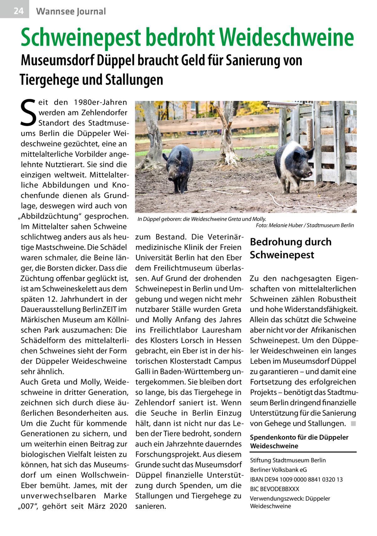"""24  Wannsee Journal  Schweinepest bedroht Weideschweine  Museumsdorf Düppel braucht Geld für Sanierung von Tiergehege und Stallungen  S  eit den 1980er-Jahren werden am Zehlendorfer Standort des Stadtmuseums Berlin die Düppeler Weideschweine gezüchtet, eine an mittelalterliche Vorbilder angelehnte Nutztierart. Sie sind die einzigen weltweit. Mittelalterliche Abbildungen und Knochenfunde dienen als Grundlage, deswegen wird auch von """"Abbildzüchtung"""" gesprochen. Im Mittelalter sahen Schweine schlichtweg anders aus als heutige Mastschweine. Die Schädel waren schmaler, die Beine länger, die Borsten dicker. Dass die Züchtung offenbar geglückt ist, ist am Schweineskelett aus dem späten 12. Jahrhundert in der Dauerausstellung BerlinZEIT im Märkischen Museum am Köllnischen Park auszumachen: Die Schädelform des mittelalterlichen Schweines sieht der Form der Düppeler Weideschweine sehr ähnlich. Auch Greta und Molly, Weideschweine in dritter Generation, zeichnen sich durch diese äußerlichen Besonderheiten aus. Um die Zucht für kommende Generationen zu sichern, und um weiterhin einen Beitrag zur biologischen Vielfalt leisten zu können, hat sich das Museumsdorf um einen WollschweinEber bemüht. James, mit der unverwechselbaren Marke """"007"""", gehört seit März 2020  In Düppel geboren: die Weideschweine Greta und Molly. � Foto: Melanie Huber / Stadtmuseum Berlin  zum Bestand. Die Veterinärmedizinische Klinik der Freien Universität Berlin hat den Eber dem Freilichtmuseum überlassen. Auf Grund der drohenden Schweinepest in Berlin und Umgebung und wegen nicht mehr nutzbarer Ställe wurden Greta und Molly Anfang des Jahres ins Freilichtlabor Lauresham des Klosters Lorsch in Hessen gebracht, ein Eber ist in der historischen Klosterstadt Campus Galli in Baden-Württemberg untergekommen. Sie bleiben dort so lange, bis das Tiergehege in Zehlendorf saniert ist. Wenn die Seuche in Berlin Einzug hält, dann ist nicht nur das Leben der Tiere bedroht, sondern auch ein Jahrzehnte dauerndes Forschungspr"""